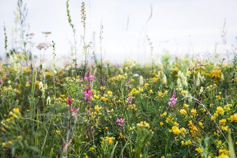 Le champ sauvage fleurit dans la steppe de la Sibérie images libres de droits