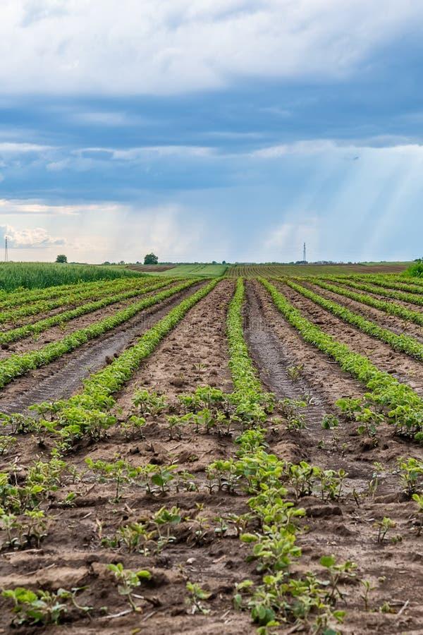 Le champ vert de la pomme de terre cultive dans une rang?e image libre de droits