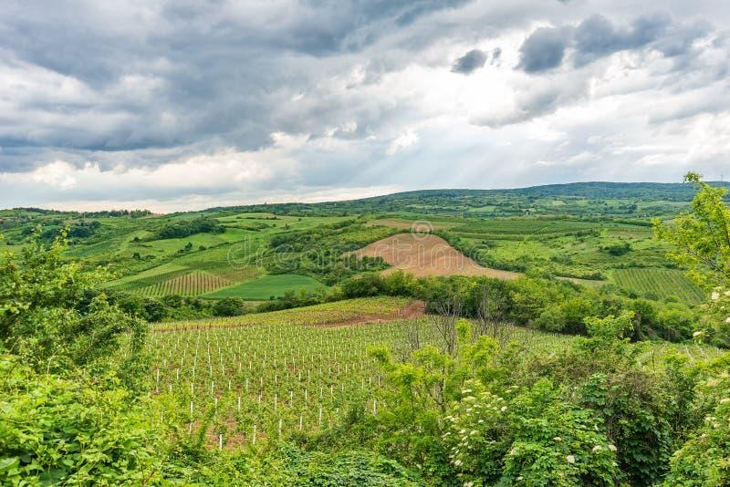 Le champ vert de la pomme de terre cultive dans une rang?e photographie stock libre de droits