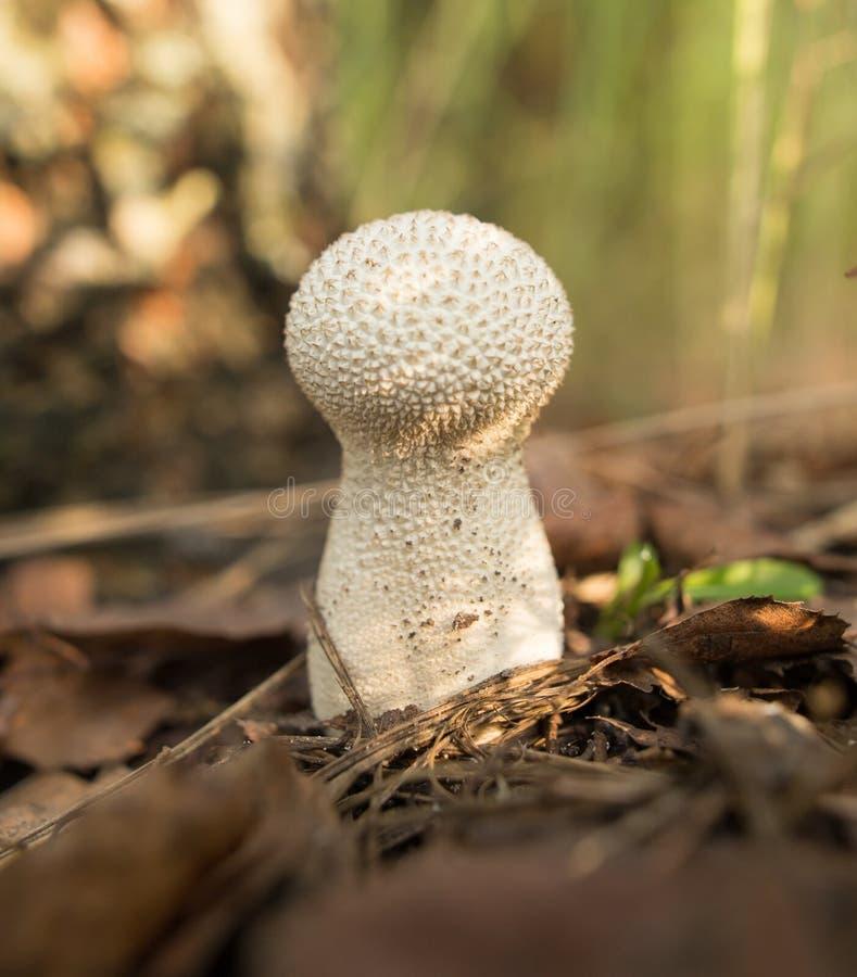 Le champignon comestible se développe dans les bois photographie stock libre de droits