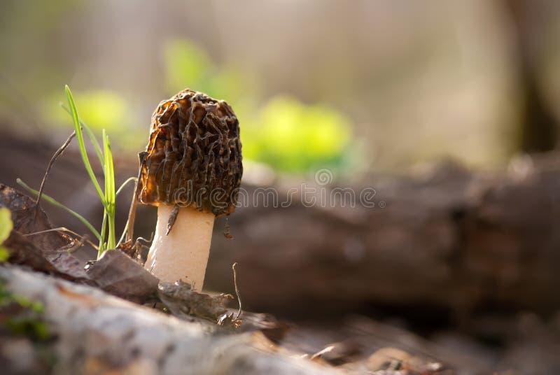 Le champignon de couche de morelle image stock