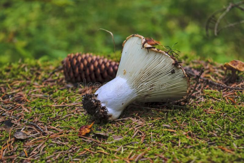 Le champignon de forêt se trouve sur le plan rapproché moussu de tronçon image libre de droits