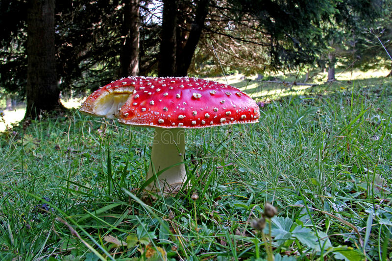 Le champignon des fables ; muscaria d'amanite photo stock