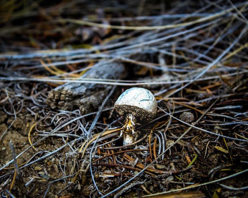 Le champignon laid a tourné beau image libre de droits