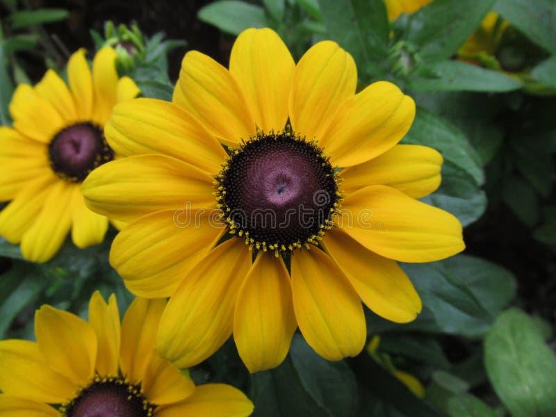 Le chapeau jaune magique du soleil fleurit, pré de fleur photo stock