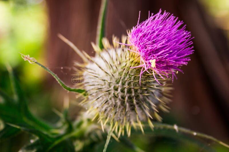 Le chardon pourpre fleurissant, se ferment avec le flocon blanc photo stock