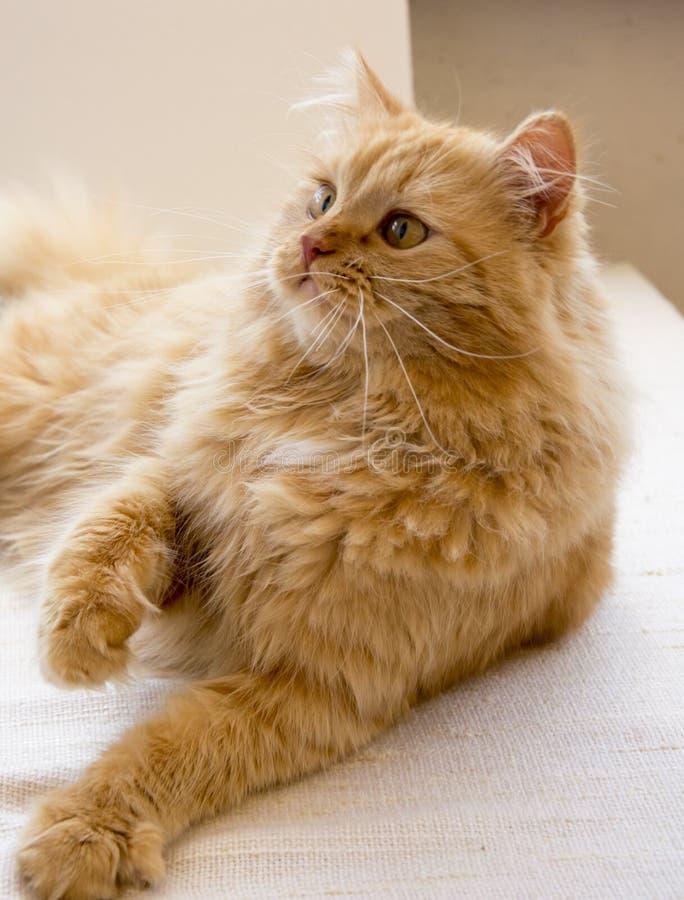 Le chasseur rouge de chat se trouvant imposant sur la couverture, observant, a soulevé son pied photographie stock
