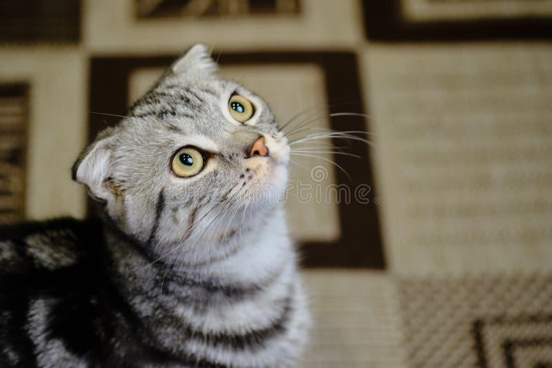 Le chat écossais de pli recherche à la maison Chat rayé photographie stock libre de droits