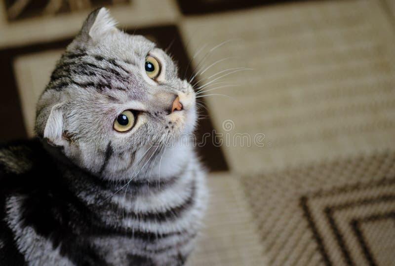 Le chat écossais de pli recherche à la maison Chat rayé photos stock