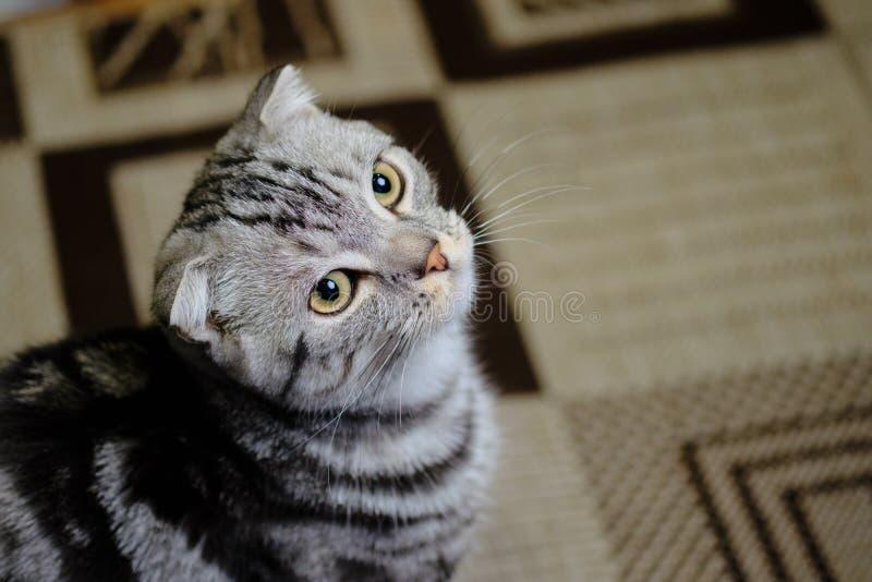 Le chat écossais de pli recherche à la maison Chat rayé image libre de droits