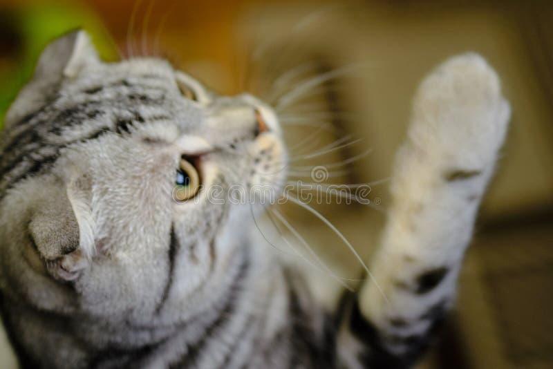 Le chat écossais de pli recherche et joue à la maison Chat rayé photos stock