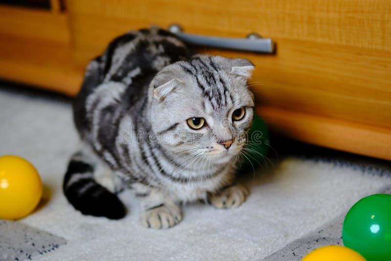 Le chat écossais de pli regarde loin à la maison Chat rayé photo libre de droits