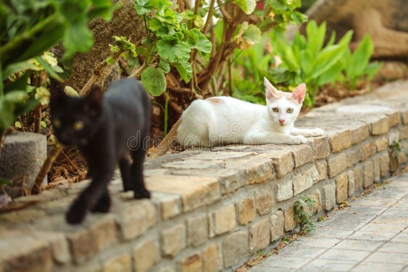 Le chat égaré blanc se reposant sur la restriction de briques, autre noire brouillée marchant dans le premier plan, géranium lais image stock