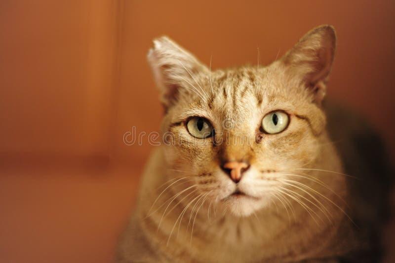 Le chat aiment le tigre photographie stock