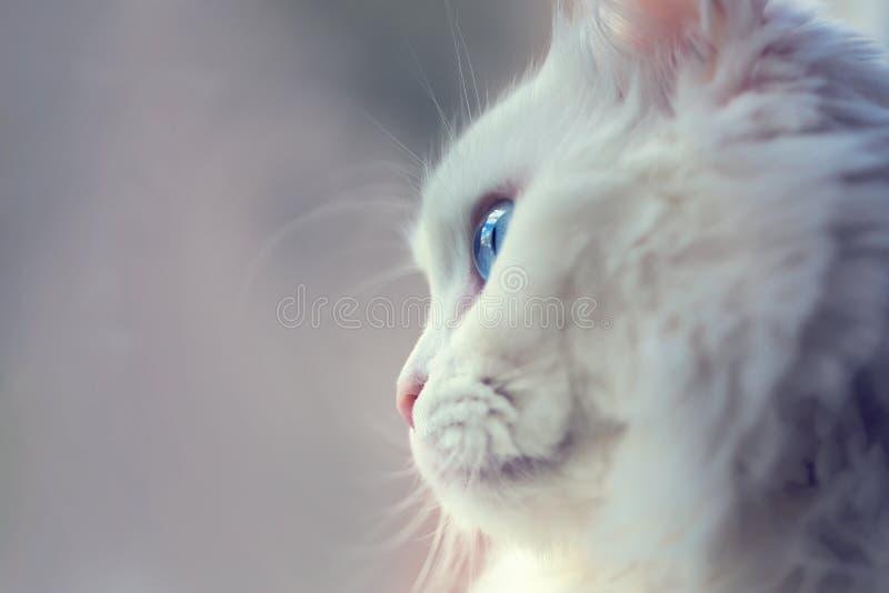 Le chat angora blanc avec des yeux bleus se ferment vers le haut de la photo image stock