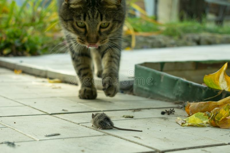 le chat a attrapé la souris dans le jardin en automne et joue avec le jouet photos stock
