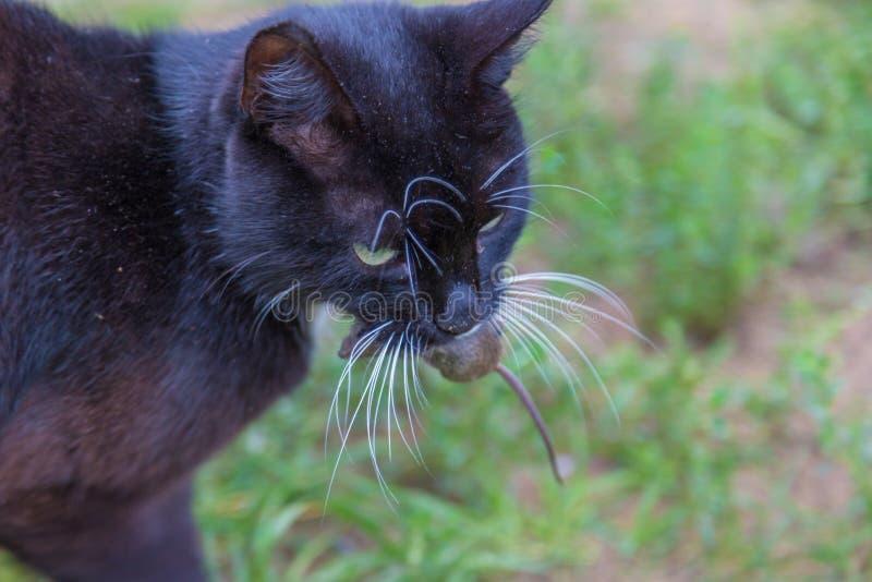 Le chat a attrapé une souris et des prises dans des dents photographie stock