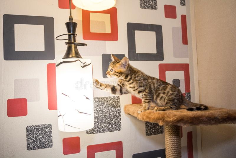 Le chat Bengal touche la lampe avec sa patte photos stock