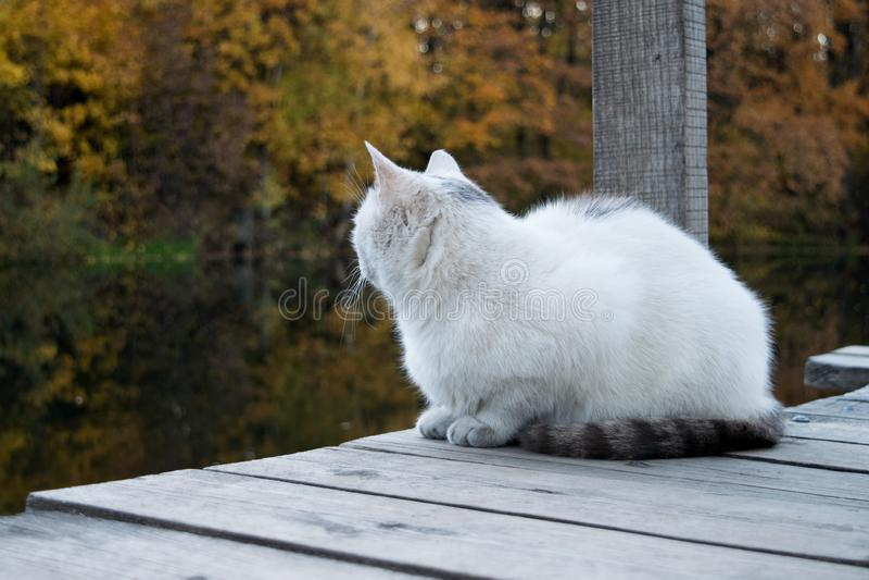 le chat blanc-gris se repose sur un pont en bois sur le museau d'étang tourné à partir de la caméra photographie stock