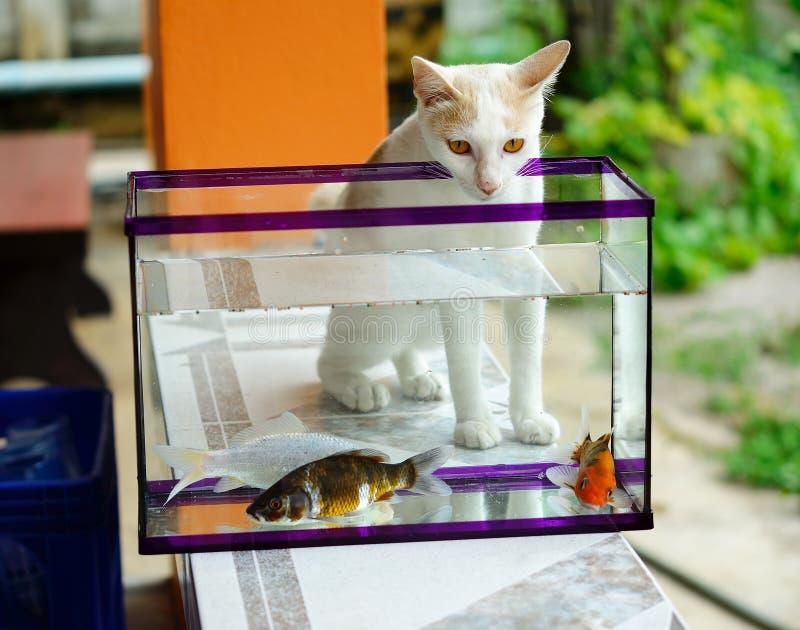 Le chat blanc regardant les poissons de koi image libre de droits