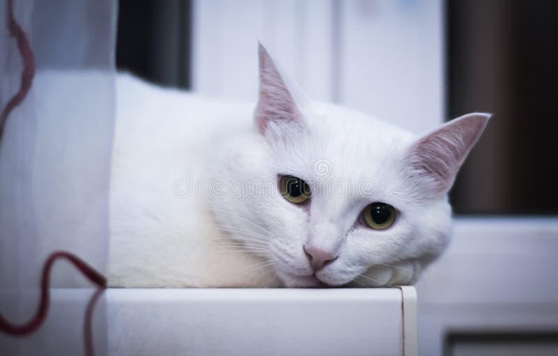 Le chat blanc regarde la caméra la fenêtre de nuit image libre de droits