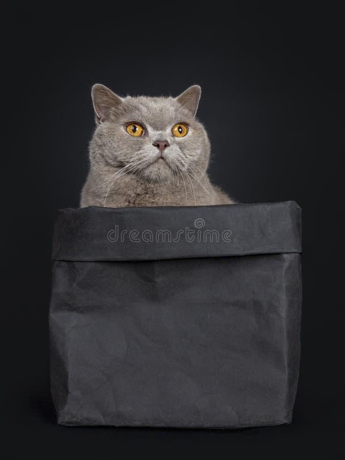 Le chat britannique de Shorthair de cannelle supérieure belle, coupent la queue pendre vers le bas du bord photographie stock