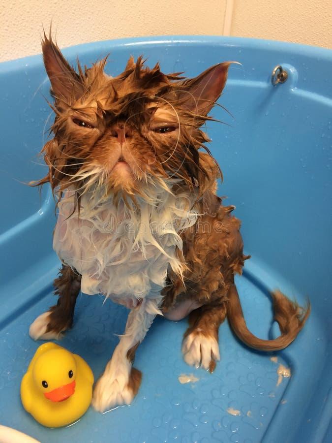 Le chat dans la rouille bleue de fond de baignoire a coloré le canard humide drôle en caoutchouc de chat photographie stock
