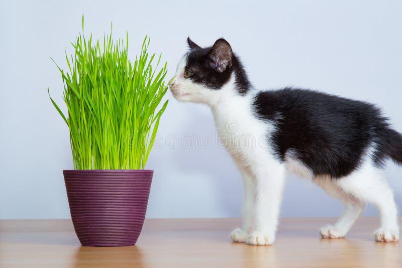 Le chat de bébé a inhalé les wheatgrass ou l'herbe de chat images libres de droits