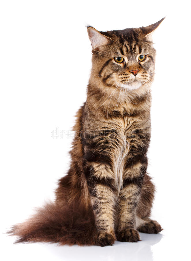 Le chat de Brown Maine Coon se repose sur un fond blanc, studio de photo photos stock