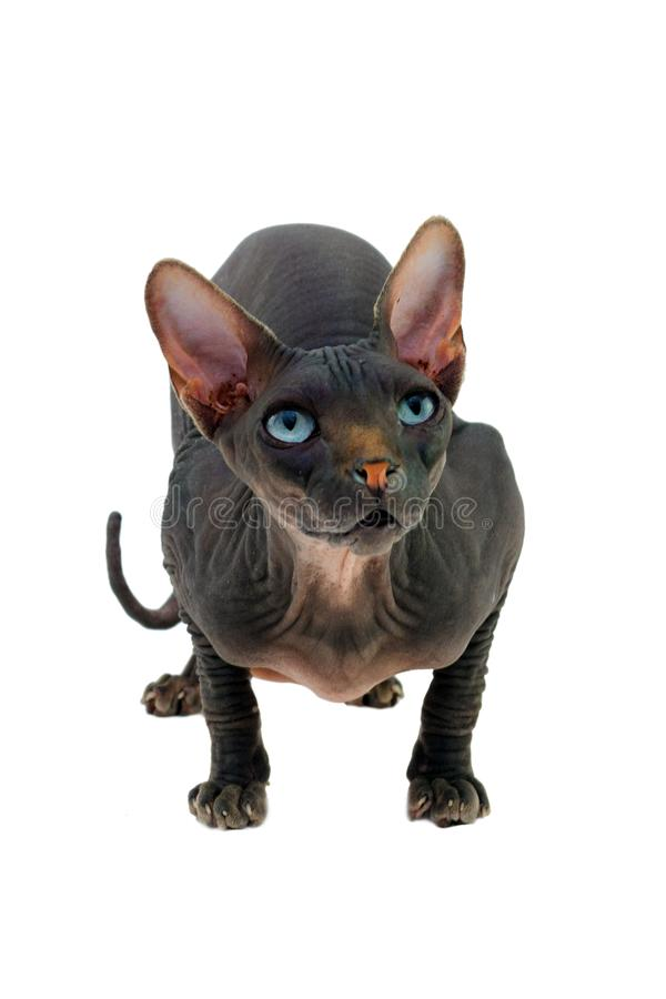 Le chat de Sphynx de catus de Felis photographie stock libre de droits