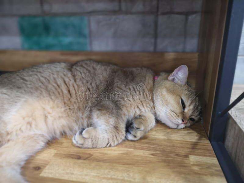Le chat doit fixer et détente images libres de droits