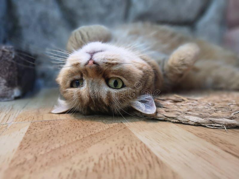 Le chat doit fixer et détente photographie stock