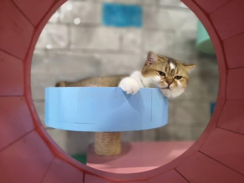 Le chat doit fixer et détente photo stock