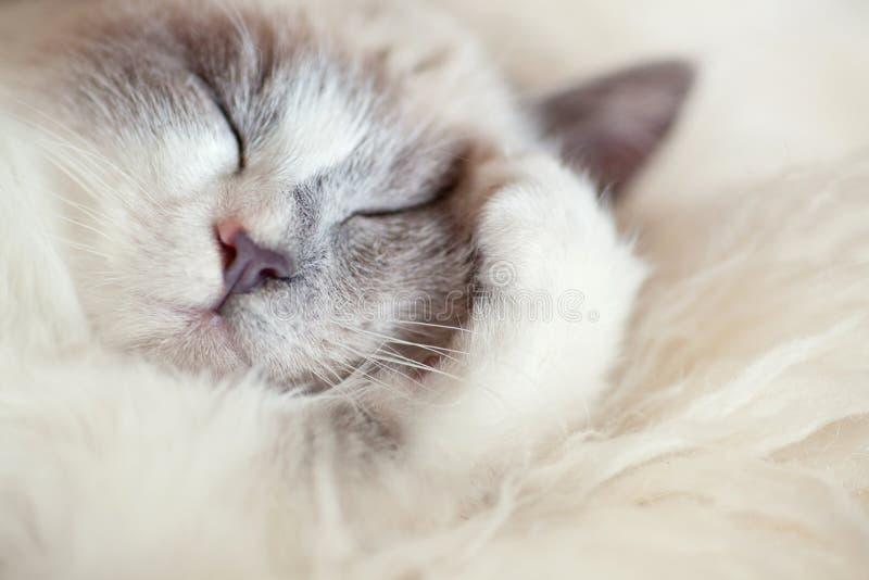 Le chat dort fermant la patte photographie stock