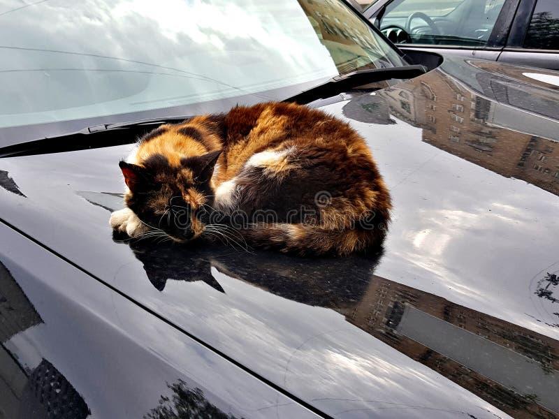 Le chat dort sur le capot brillant de voiture images stock