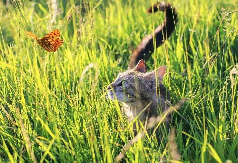 Le chat drôle mignon sur un jardin ensoleillé d'été attrape un papillon orange volant en temps clair se cachant dans l'herbe vert photographie stock libre de droits