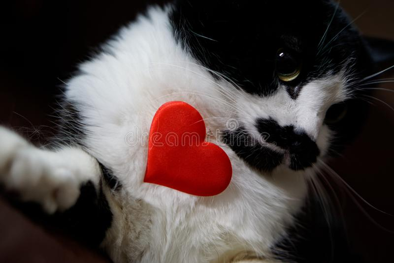 Le chat drôle tenant un coeur et félicite la Saint-Valentin Amour et relations photos libres de droits