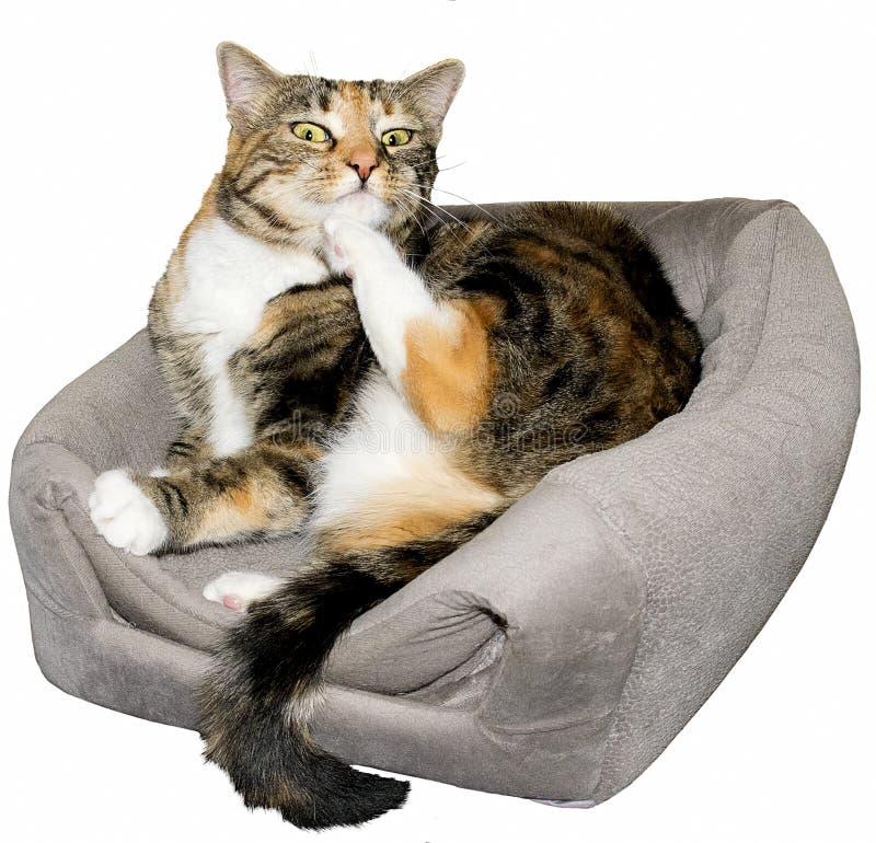 Le chat est étonné tout en se toilettant photo libre de droits