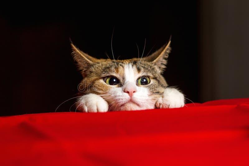 Le chat expressif de plan rapproché avec de grands yeux et ses oreilles s'est tapi avant le lancement image stock