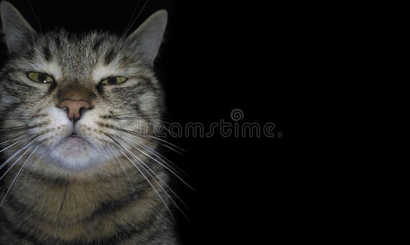 Le chat fâché domestique casse le quatrième mur et regarde la visionneuse, sur un fond noir Un chaton somnolent sombre Museau drô image stock