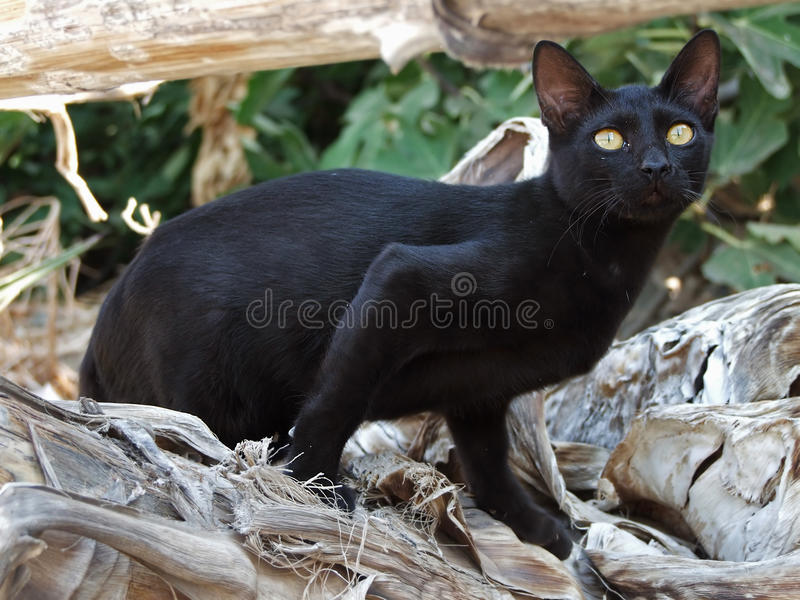 Le chat grec noir menace