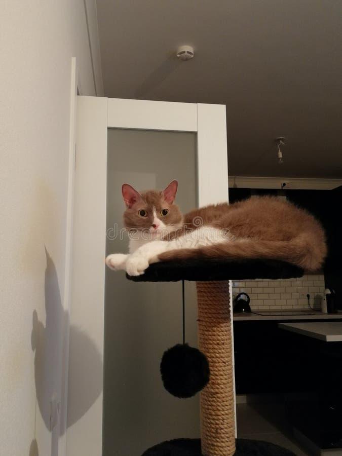 Le chat gris avec de grandes oreilles vous regardent avec les yeux fâchés images libres de droits