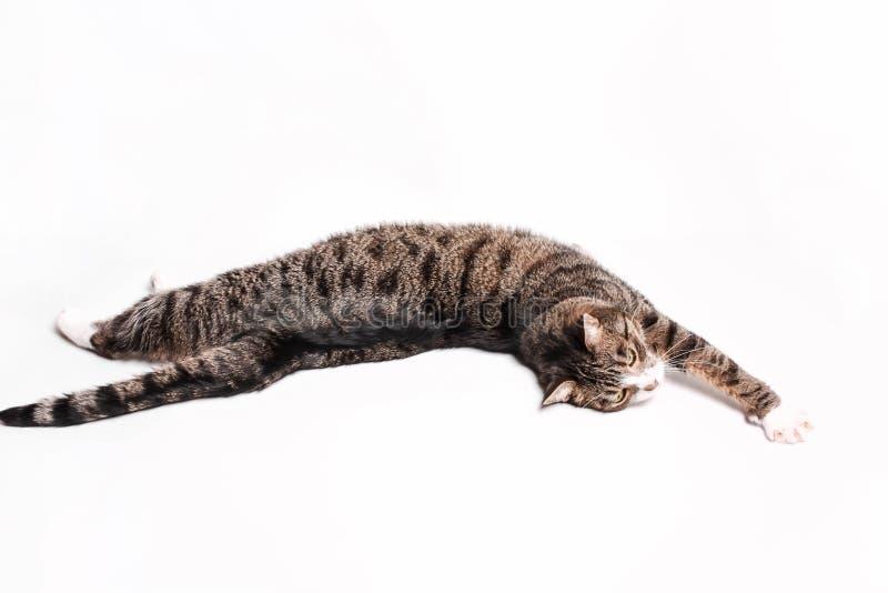 Le chat gris-brun barré se trouve, s'étire, détend photo libre de droits