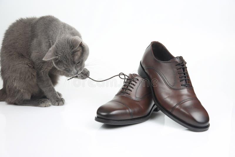 Le chat gris joue avec une chaussure brune d'hommes classiques de dentelle sur le fond blanc photographie stock