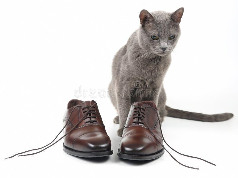 Le chat gris joue avec une chaussure brune d'hommes classiques de dentelle sur le fond blanc photos libres de droits