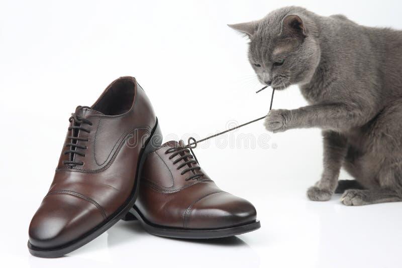 Le chat gris joue avec une chaussure brune d'hommes classiques de dentelle sur le fond blanc photo stock