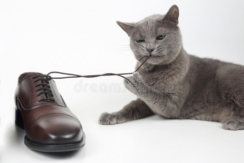 Le chat gris joue avec une chaussure de brun du ` s d'hommes de dentelle de classique sur le CCB blanc image stock