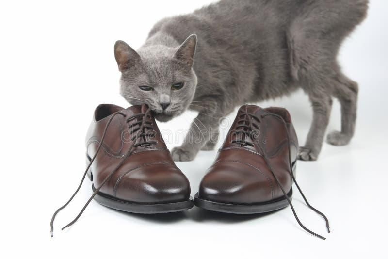 Le chat gris joue avec une chaussure de brun du ` s d'hommes de dentelle de classique sur le CCB blanc photo stock