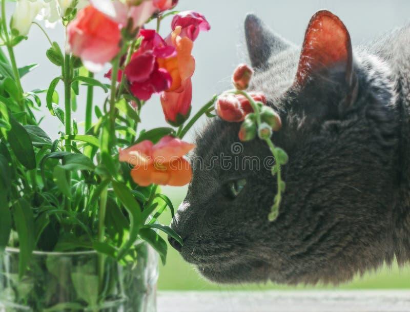Le chat gris renifle des fleurs d'été image stock