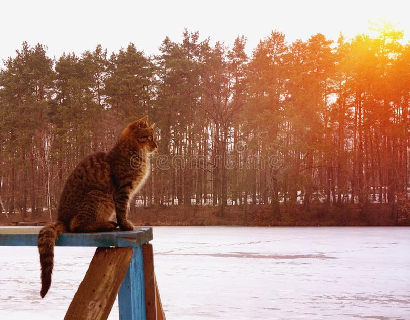 Le chat gris se repose sur le conseil en bois et regarder en avant images libres de droits